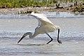 Reddish Egret (Egretta rufescens) (8082812449).jpg