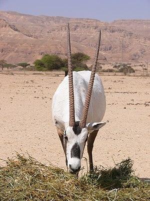 Yotvata Hai-Bar Nature Reserve - Arabian oryx