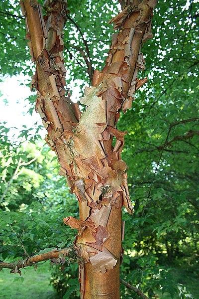 Paperbark Maple  (Acer griseum).