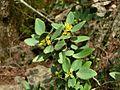 Rhamnus ludovici-salvatoris 1.JPG