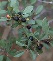 Rhamnus rubra Sierra coffeeberry close.JPG