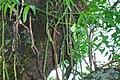 Rhipsalis Floccosa en las Yungas.jpg