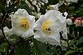 """Rhododendron """"Steads best """" (8170903740).jpg"""