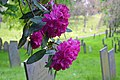 Rhododendron - Flickr - It's No Game.jpg