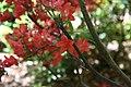 Rhododendron Antares 0zz.jpg