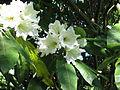 Rhododendron auriculatum (9392172696).jpg