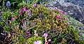 Rhododendron campylogynum 02.jpg