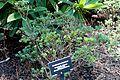 Rhododendron impeditum - VanDusen Botanical Garden - Vancouver, BC - DSC06930.jpg
