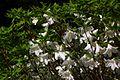 Rhododendron quinquefolium (3983689266).jpg