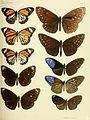 Rhopalocera Malayana BHL9346058.jpg