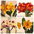 Rhyncholaeliocattleya (Brassolaeliocattleya) cultivars -台南國際蘭展 Taiwan International Orchid Show- (40744239572).jpg