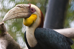 Wreathed hornbill - Male at Rotterdam Zoo, Netherlands