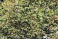 Rhytisma acerinum Acer platanoides C.JPG