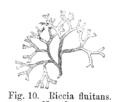 Riccia fluitans Strasburger1900.png