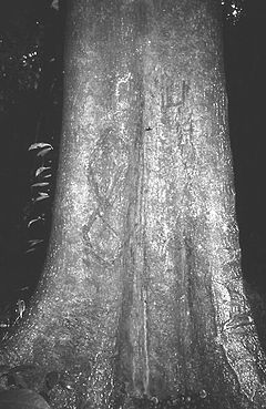 Ricinodendron heudelotii trunk.jpg