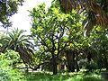 Roble de las acacias.jpg