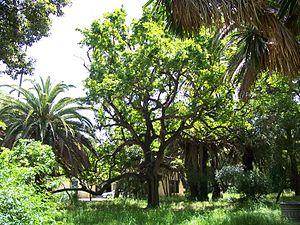 Parque de las Acacias de Algeciras - Image: Roble de las acacias