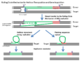 Rolling-Circle Mechanism for Helitron transposition and gene acquisition.PNG