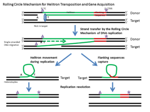 Helitron (biology) - Rolling-Circle Mechanism for Helitron transposition and gene acquisition