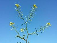 Rorippa sylvestris (s. str.) sl13.jpg