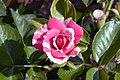 Rosa Berries n Cream 0zz.jpg
