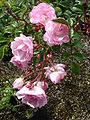 Rosa Maid of Kent1a.UME.jpg