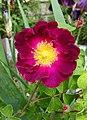 """Rosa gallica """"Belle Sultane"""".jpg"""