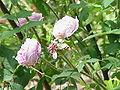 Rosa sp.177.jpg
