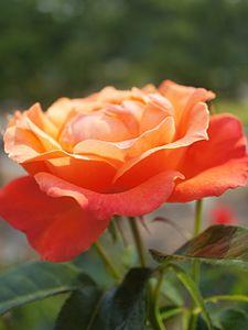 Rose,Fellowship,バラ,フェローシップ, (8171560162).jpg