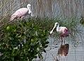 Roseate spoonbills 10000 islands national park (16665099792).jpg