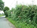 Roses in the hedge - geograph.org.uk - 478537.jpg