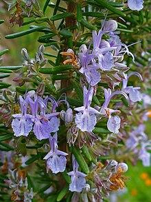 para que sirve el romero como planta medicinal wikipedia