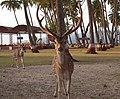 Ross Island, Andamans, Chital deer.jpg