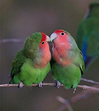 Rosy-faced lovebirds (Agapornis roseicollis roseicollis) composite 3 of 3.jpg