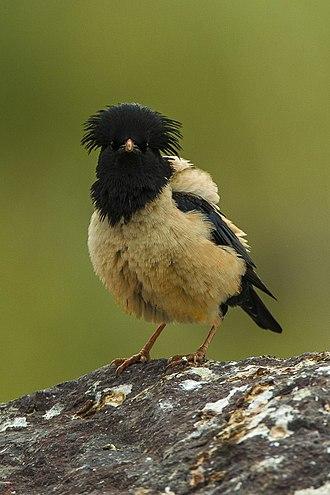 Rosy starling - Male in Almaty, Kazakhstan