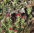 Rosy sedum Sedum rosea side VA L.jpg