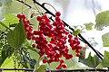Rote Johannisbeeren (14786228994).jpg