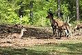 Rotwild im Wildpark Betzenberg.jpg