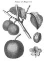 Rozier - Cours d'agriculture, tome 8, pl. 29, damas de Maugeron.png