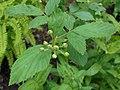 Rubus allegheniensis 2017-05-23 1404.jpg