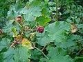 Rubus deliciosus fruit.jpg