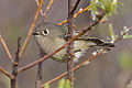 Ruby-crowned Kinglet (regulas calendula) (8536457798).jpg