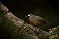 Rufous-breasted Laughingthrush.jpg