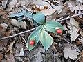 Ruscus hypoglossum L. 1.jpg