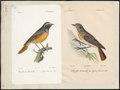 Ruticilla phoenicurus - 1700-1880 - Print - Iconographia Zoologica - Special Collections University of Amsterdam - UBA01 IZ16200232.tif