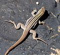 SONORAN SPOTTED WHIPTAIL Aspidoscelis sonorae - Flickr - gailhampshire.jpg