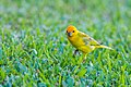 Saffron finch (30558227882).jpg