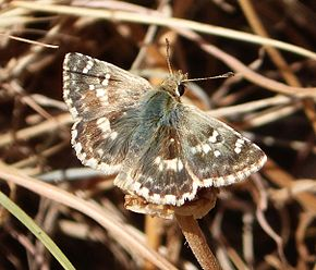 Description de l'image Sage Skipper. Muschampia proto (24058761464).jpg.