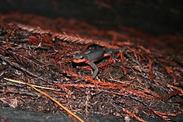 Salamander in the Redwoods in Northern California.jpg