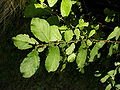 Salix aurita 003.jpg